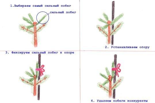 Схема обрезки голубой ели