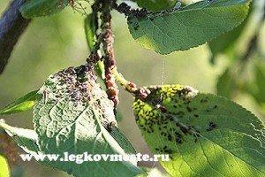 Тля на листочках сливы