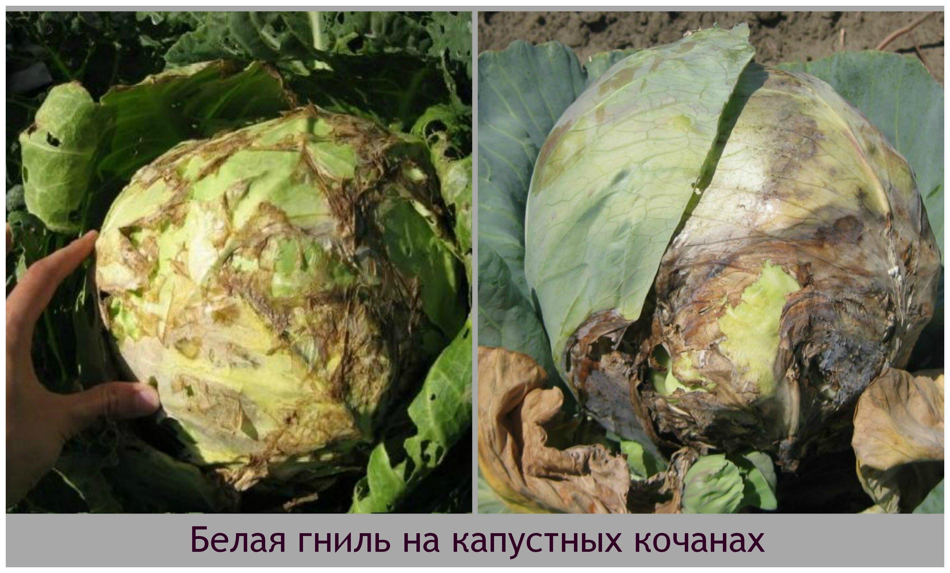 хризантема, может белая гниль капусты методы борьбы фото найдете шесть