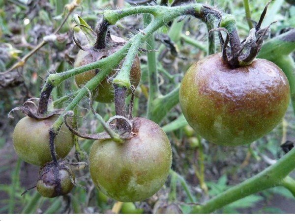 кладопсориоз на томатах