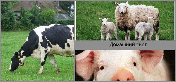 домашний скот