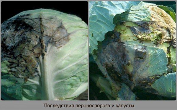 последствия пероноспороза у капусты