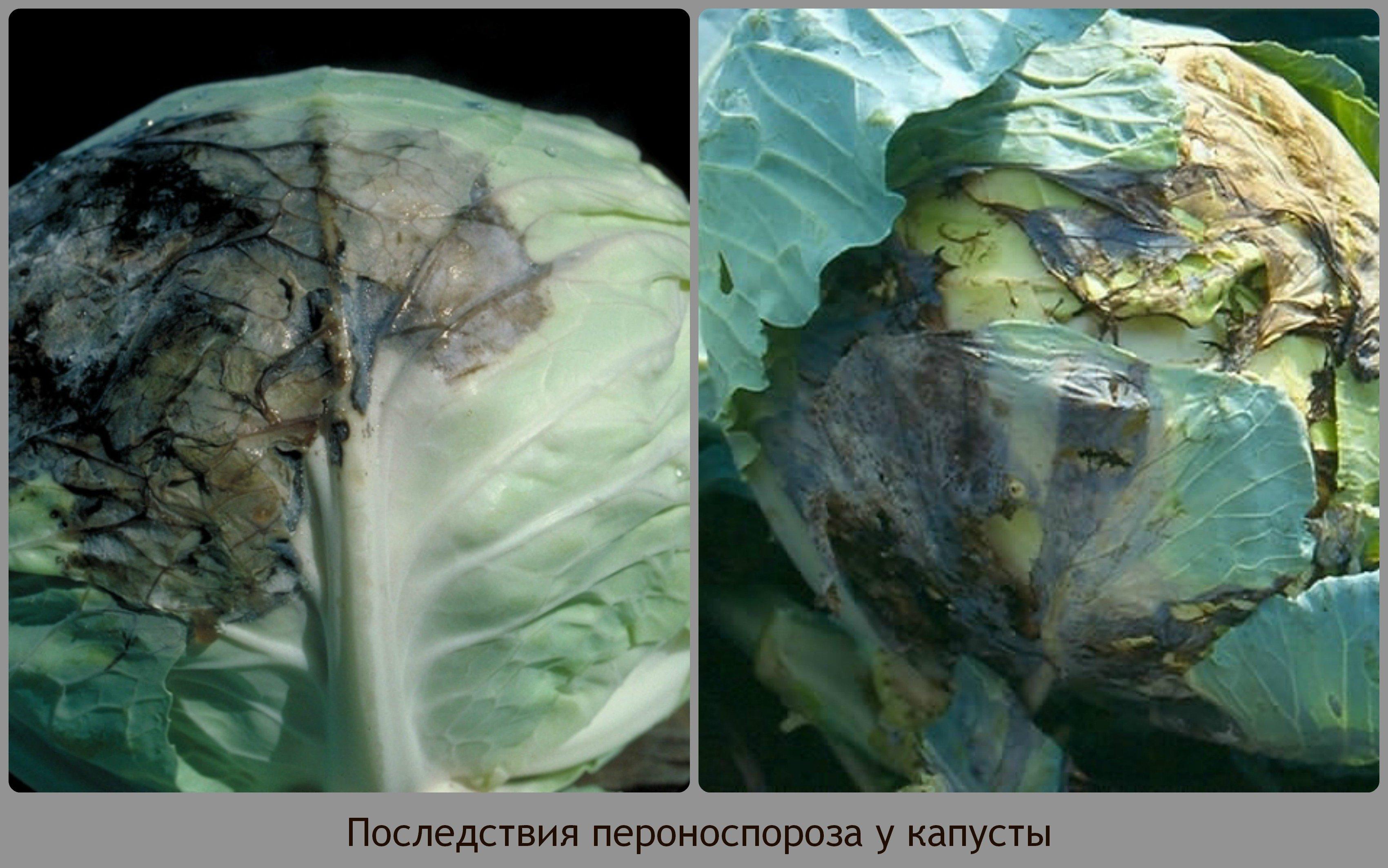 Болезни капусты, профилактика, лечение