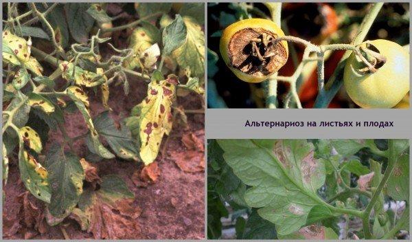 Помидоры выращивание болезни помидор