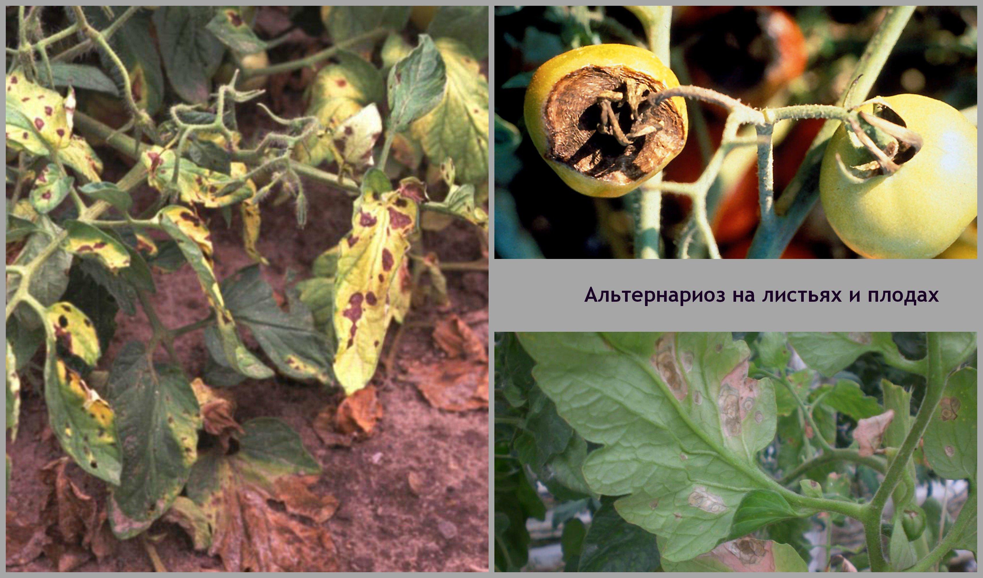 вредители помидоров и борьба с ними фото