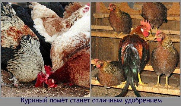Куриный помёт станет отличным удобрением