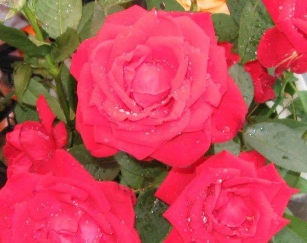 Для садовых роз зола – самое распространённое и доступное удобрение