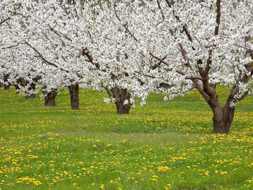 картинки деревья весной в саду прикольные