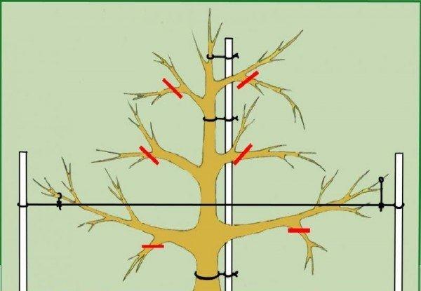 Схема обрезки слабо-рослой яблони