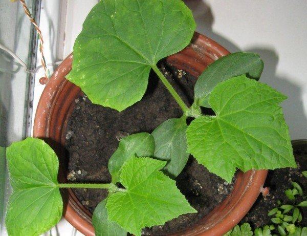 Почва в горшке с огуречной рассадой всегда должна быть увлажнённой
