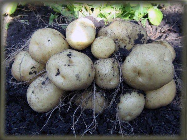 зола как удобрение для картофеля