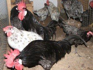Как разводить куриц на даче несушек и бройлеров, в тч летом (с чего начинать, породы, за и против и тд)