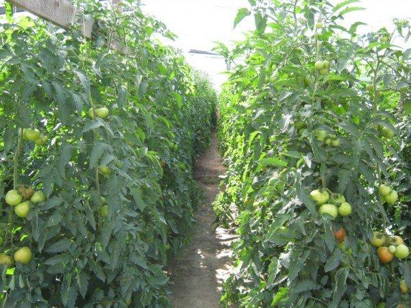 хороший урожай томатов