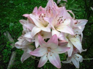 Садовые лилии - посадка и уход, фото и видео (восточная, белая, трубчатая)