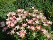 садовые лилии посадка и уход