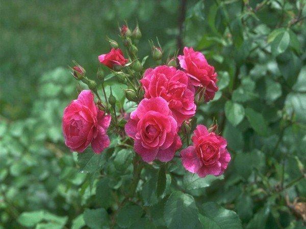 садовые розы во всей красе