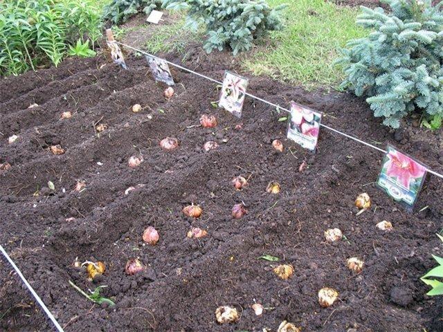 схема посадки луковиц лилии