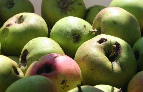 яблоки, пораженные плодожоркой