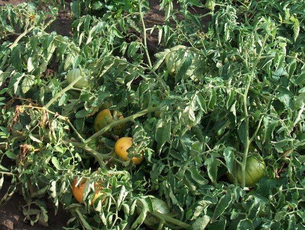 помидоры на дачном участке