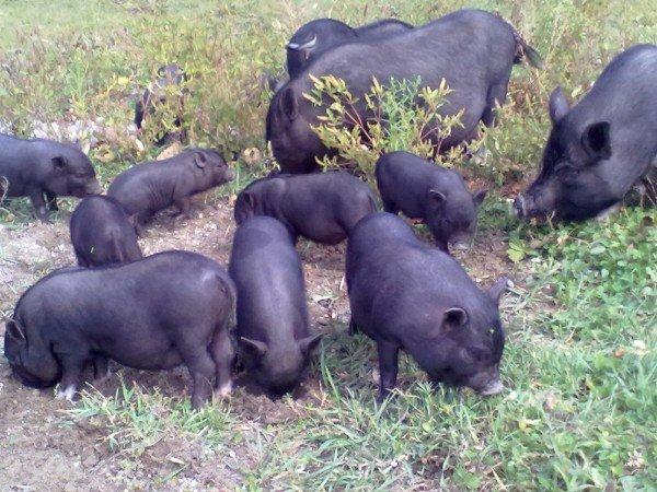 вислобрюхие свиньи на выпасе