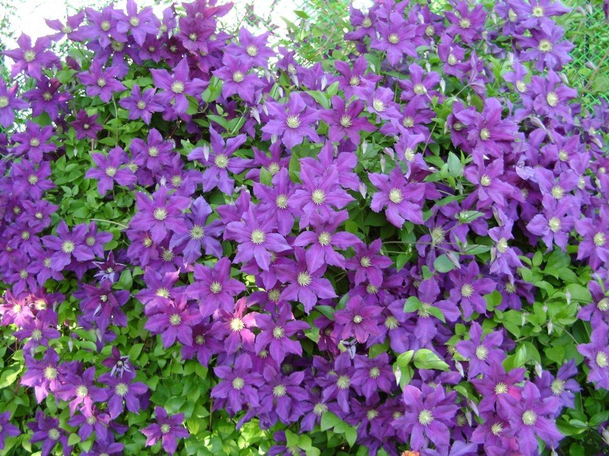 Клематис-садовый цветок
