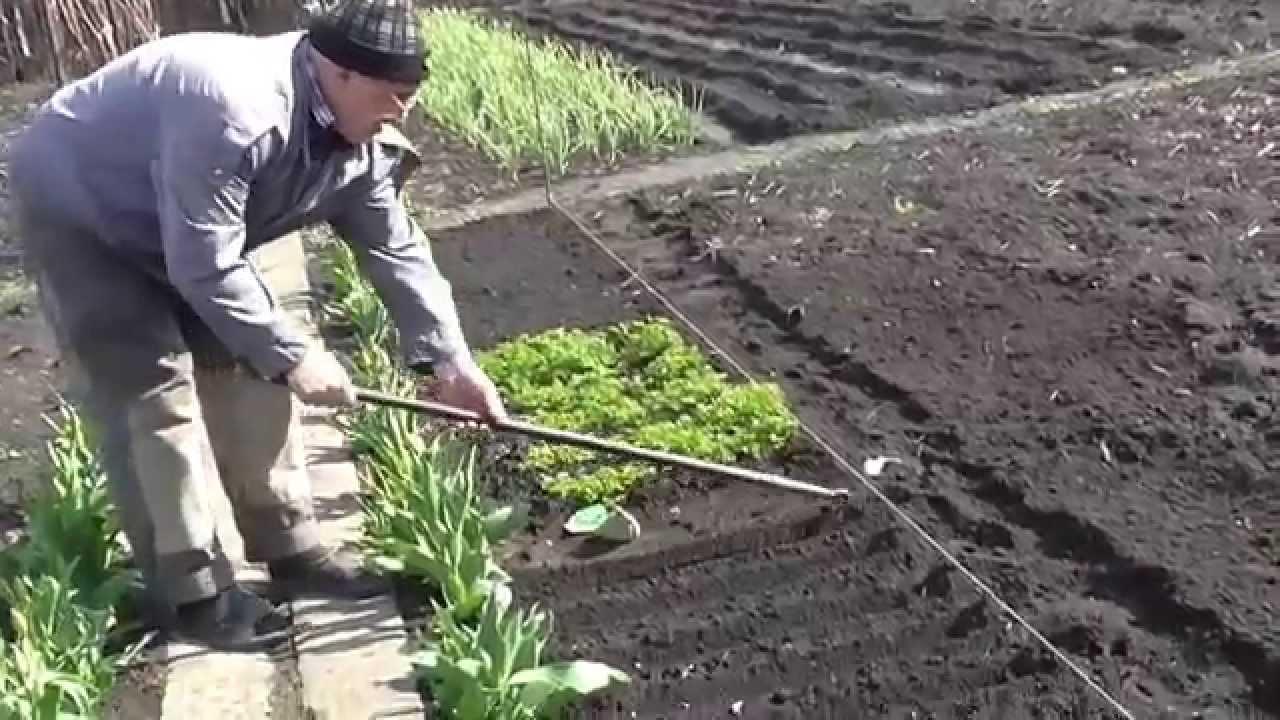 Сажать морковь с укропом 177