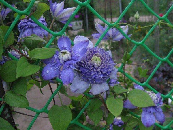 Клематис на сетке ограды