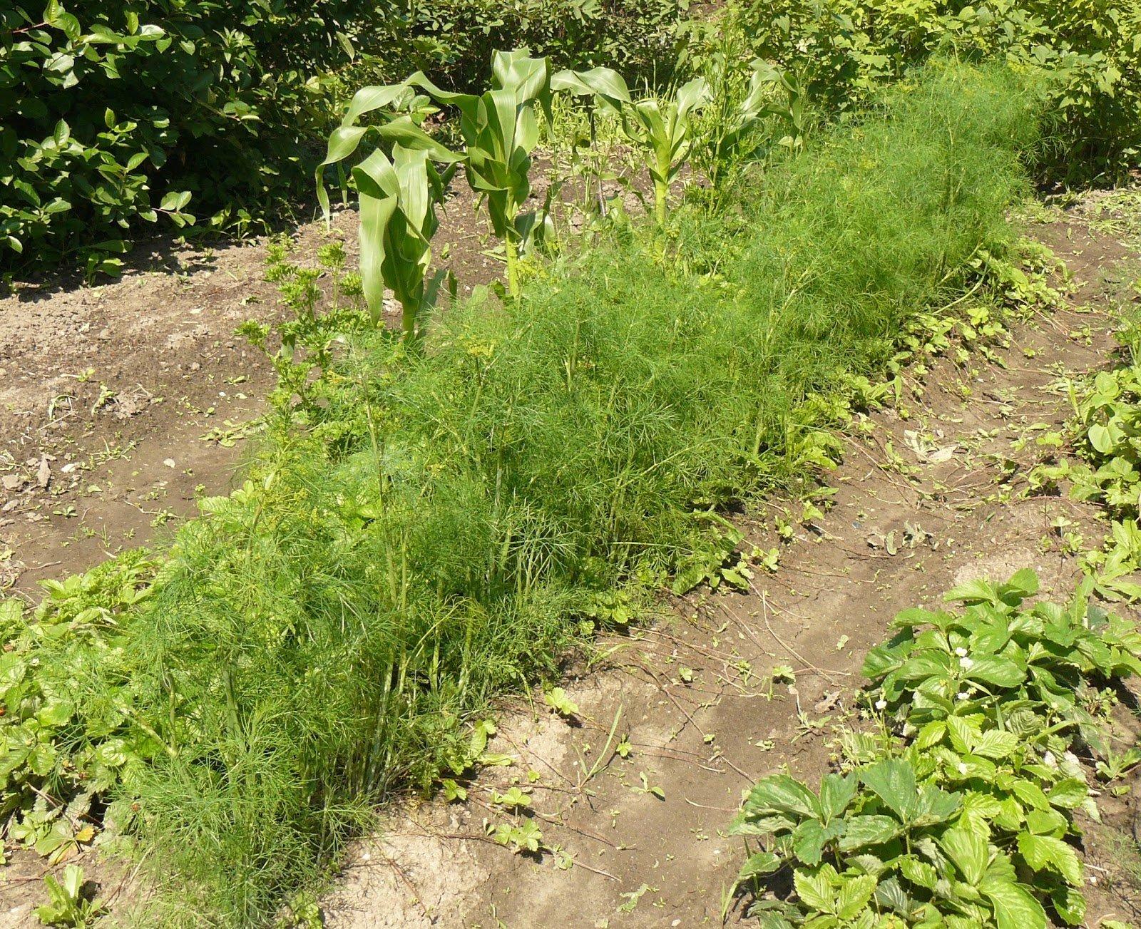 укроп выращивание и уход в открытом грунте исключением является