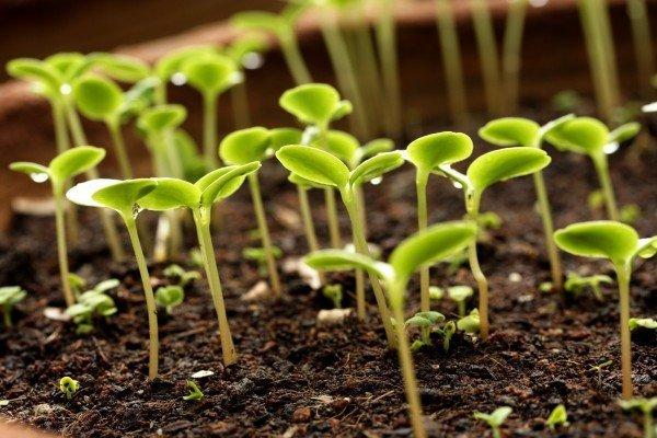 Всходы семян клематиса