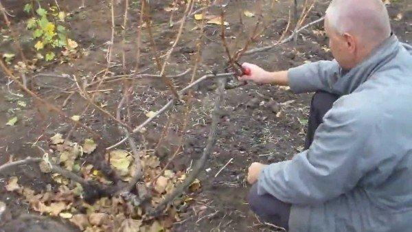 обрезка старого винограда весной