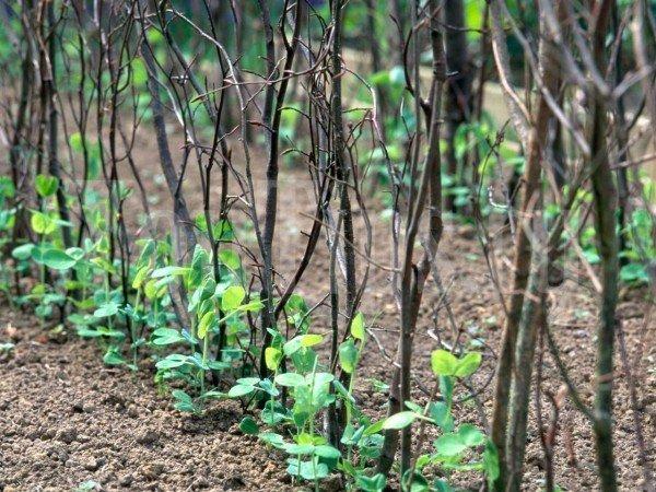 Подпорки для ростков гороха