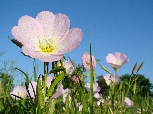 энотера розового цвета