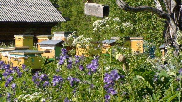 пасека среди цветущих растений
