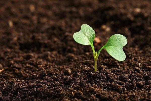 Росток в подготовленной почве