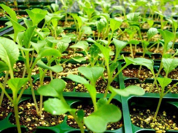 выращивание рассады энотеры