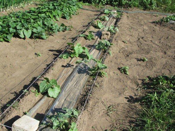 Саженцы дыни в открытом грунте