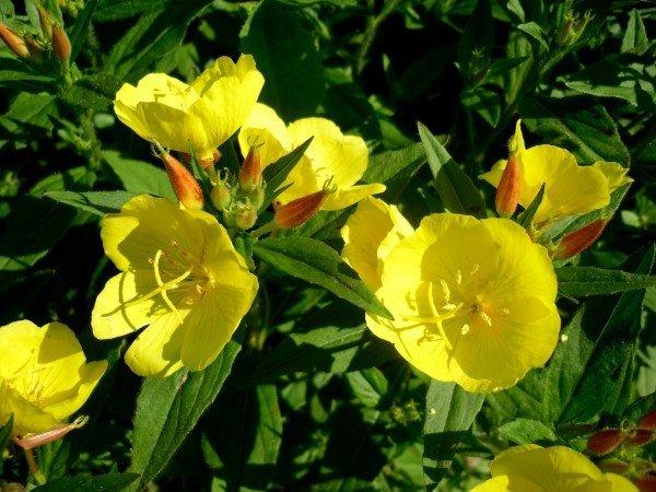цветение энотеры