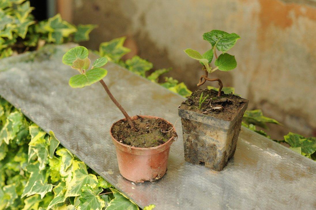 Какой экзотический фрукт можно вырастить в домашних условиях