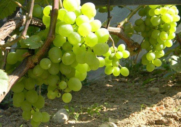 все фото и видео все сорта белого винограда