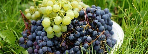 Белый и синий виноград в миске