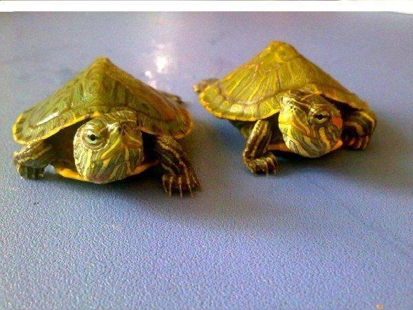 детёныши красноухой черепахи