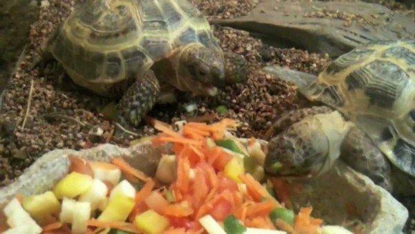 красноухие черепахи едят