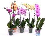 Орхидея фаленопсис в горшочках