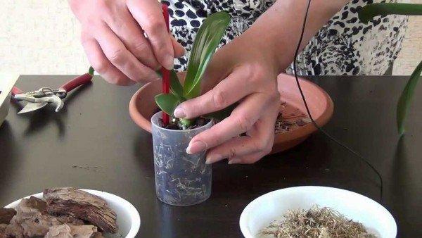 Як пересадити орхідею в домашніх умовах
