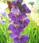 Гладиолус Виолетта