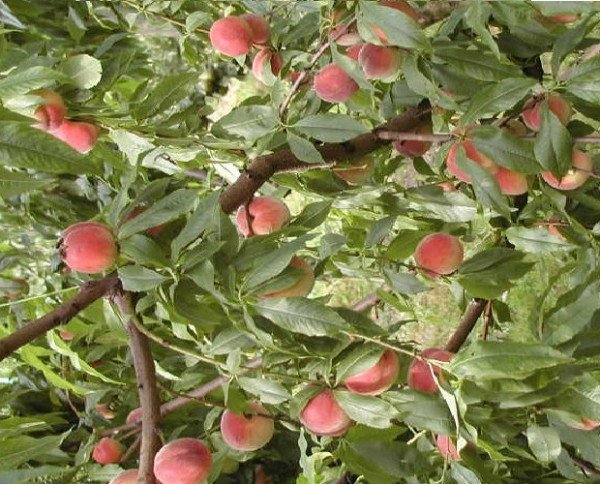 Когда сажают персиковые косточки