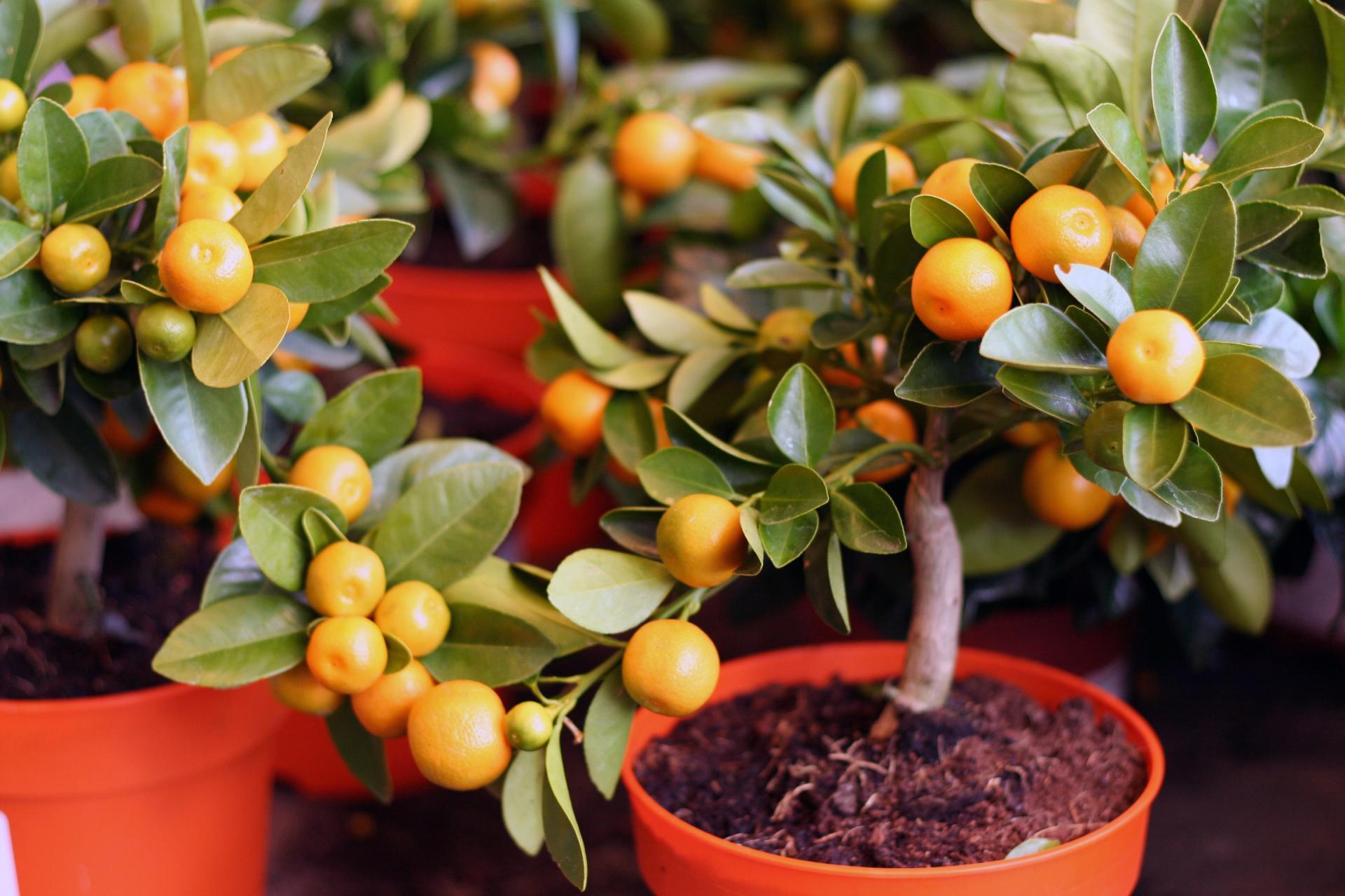 апельсиновое комнатное дерево фото