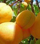 Нектарин ананасный