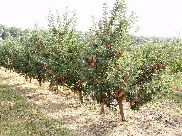 посадка персиков