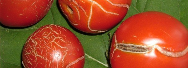 Борьба с болезнями томатов